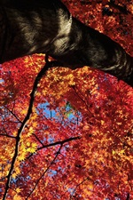 Red maple leaves tree, bottom view, autumn