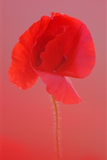 Preview iPhone wallpaper Red poppy close-up, blurry background