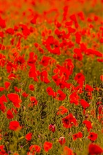 Preview iPhone wallpaper Red poppy flowers field, blurry