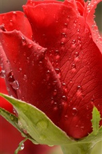 Preview iPhone wallpaper Red rose, dew, macro photography