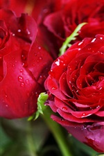 Red roses, dew, flowers