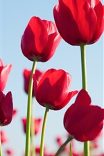 Preview iPhone wallpaper Red tulips, flowers, sky