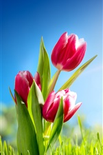 Preview iPhone wallpaper Red tulips, grass, sunshine