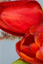 Preview iPhone wallpaper Red tulips, water drops, flowers