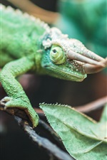 Preview iPhone wallpaper Reptile, chameleon, horns
