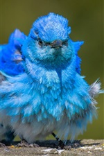 Preview iPhone wallpaper Ruffled feathers, blue bird