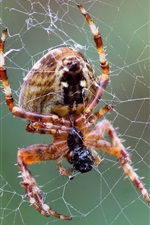 Spider, web, insect close-up