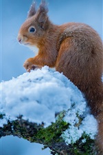 Preview iPhone wallpaper Squirrel in winter, snow