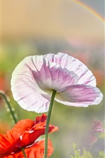 Preview iPhone wallpaper Summer, poppies, pink and red flowers, rainbow