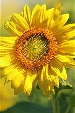 Sunflower, yellow petals, summer