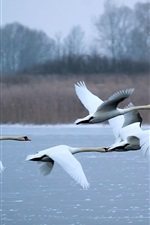 Preview iPhone wallpaper Swans flying, river