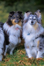 Preview iPhone wallpaper Three dogs, Shetland sheepdog
