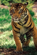 Preview iPhone wallpaper Tiger under tree, grass