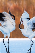 Preview iPhone wallpaper Two birds, cranes dance