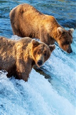 Preview iPhone wallpaper Two brown bears hunting fish, waterfall, river