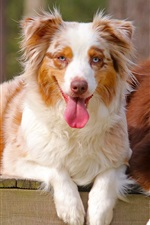 Preview iPhone wallpaper Two dogs, Australian shepherd
