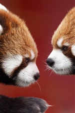 Two red pandas, face to face