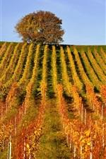 Preview iPhone wallpaper Vineyard, tree, hills, autumn