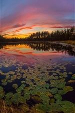 Water lilies, lake, sunset, trees
