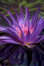 Preview iPhone wallpaper Water lily flowering, purple petals