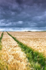 Wheat fields, yellow and green, clouds