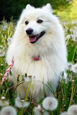 Preview iPhone wallpaper White dog, dandelions flowers, summer
