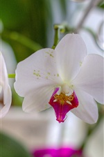 Preview iPhone wallpaper White orchids, petals, blurry background