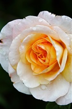 Preview iPhone wallpaper White yellow petals rose flower, dew