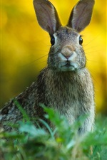 Wild rabbit, look, grass