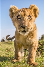 Preview iPhone wallpaper Wildlife, cute lion cub front view