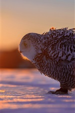 Preview iPhone wallpaper Winter, snow, bird, owl, sun