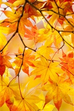 Preview iPhone wallpaper Yellow maple leaves, tree, beautiful autumn