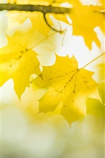 Yellow maple leaves, twigs, bokeh, autumn