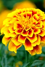 Preview iPhone wallpaper Yellow orange petals flowers, garden