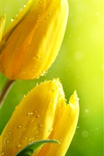 Preview iPhone wallpaper Yellow tulips, water drops, glare background