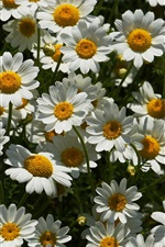 Preview iPhone wallpaper A lot of white chamomile flowers