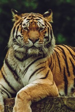 Preview iPhone wallpaper Amur tiger, predator, rest, stump