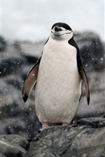 Preview iPhone wallpaper Antarctica, penguin relaxing, rocks, snow
