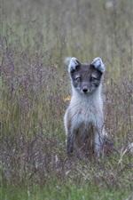 Preview iPhone wallpaper Arctic fox, grass