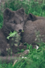 Arctic fox rest in grass