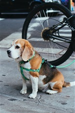 Preview iPhone wallpaper Beagle puppy sit on the ground, street, bicycle