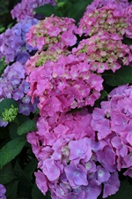 Beautiful hydrangea flowers, inflorescence, colorful