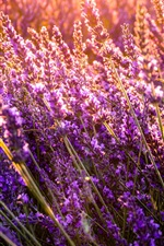 Beautiful lavender flowers, sunshine