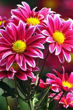 Preview iPhone wallpaper Beautiful pink chrysanthemums flowers