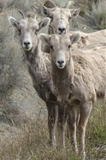 Preview iPhone wallpaper Bighorn sheep photography
