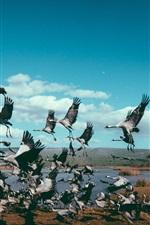 Bird flock, cranes flight