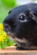 Preview iPhone wallpaper Black guinea pig, cute pet