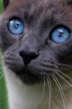 Preview iPhone wallpaper Blue eyes cat, black face