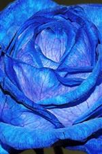Blue petals rose close-up