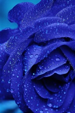 Blue petals rose flower, water drops
